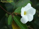 Mangrove Rubbervine