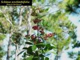 Invasive Brazilian Pepperwood