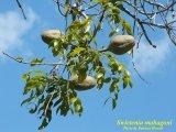 West Indian Mahagony